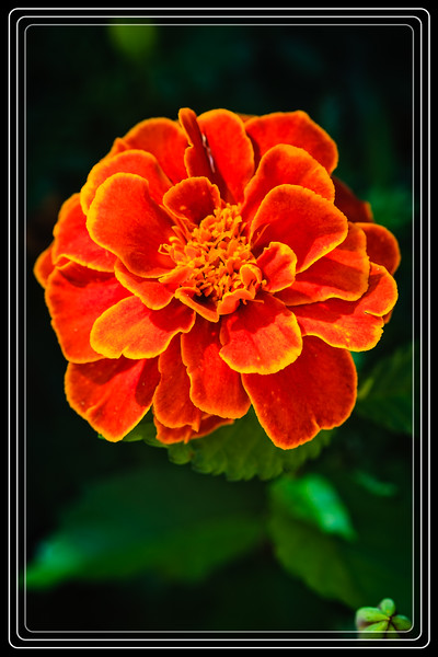 "Little Flower ""Marigold"" Getting some Afternoon Light to Look even Prettier...     Link to Photo Without Frame"
