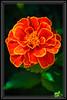 "Little Flower ""Marigold"" Getting some Afternoon Light to Look even Prettier...  </font> <a href=""http://www.rickwillis-photos.com/Portfolio/Best/Hidden-Photos-Without-Frames/26709550_DZD78d#!i=2395280127&k=CjShbw6""> <font color=""Red""> Link to Photo Without Frame </a> </font>"