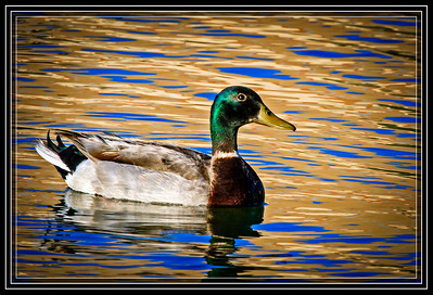Duck, Mallard-Male on Golden Pond     Link to Photo Without Frame