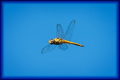 Dragonfly, Common Darter