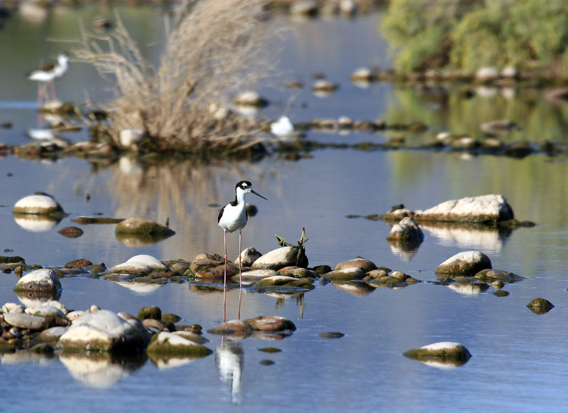 Black-Necked Stilt<br /> <br /> Shot at Tres Rios Wetlands Phoenix, AZ<br /> I had other shots that were closer, but I like this one because it also includes a glimpse of the environment.