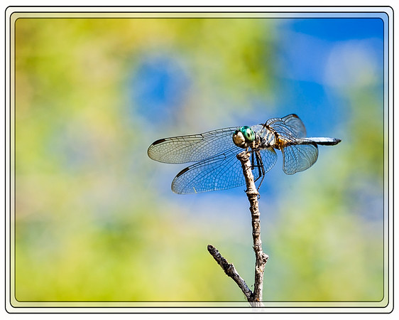 Dragonfly,  Blue Dasher         Link to Photo Without Frame         Thank You for Making this Daily Photo the #1 Pick on 07-24-2013