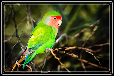 Lovebird, Peachface Shot in Water Ranch-Gilbert, AZ     Link to Photo Without Frame