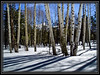 Flagstaff, Arizona Aspens      Thank You for Making this Daily Photo the #1 Pick on 01/05/2013      Link to Photo Without Frame