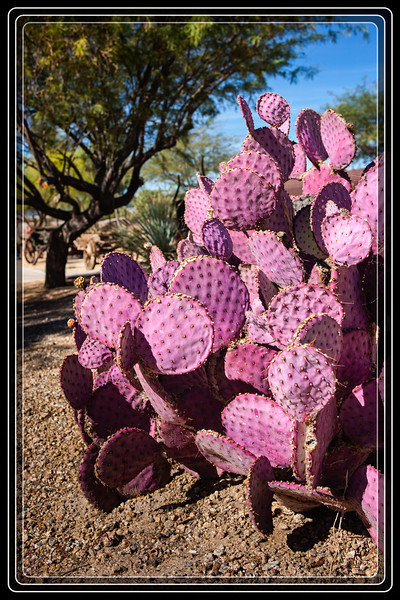 Cactus, Prickly Pear [Santa Rita Prickly Pear] -    Purple   It is by far the most Colorful that I have seen so far Native to the Sonoran Desert     Link to Photo Without Frame
