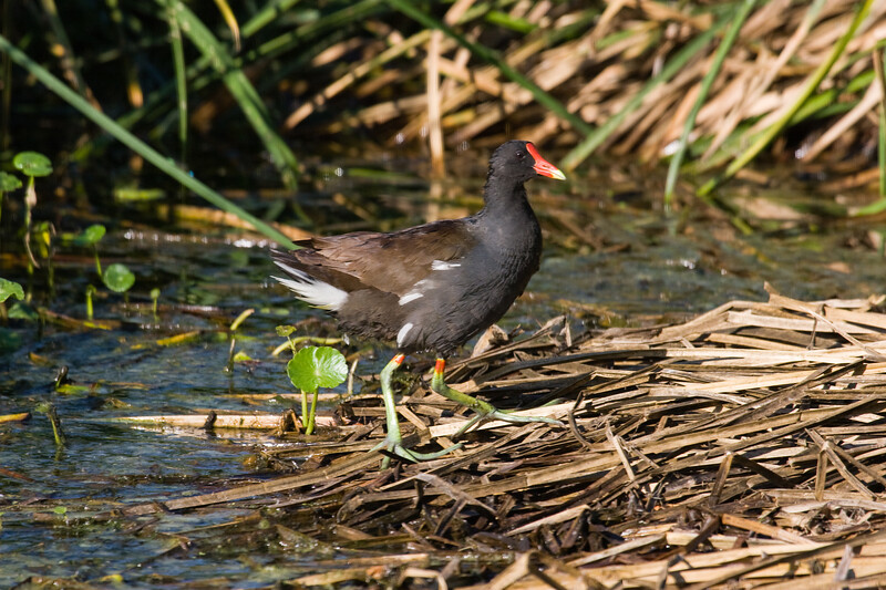 Moorhen, Common<br /> <br /> Even though this is called the Common Moorhen there are a lot of similarities with the American Coot.