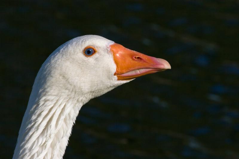 Fowl Portrait<br /> <br /> Domesticated Dapper Display...