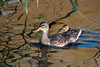 Duck, Mallard-Female & Chicks<br /> <br /> Shot at Rio Salado in Phoenix, AZ...