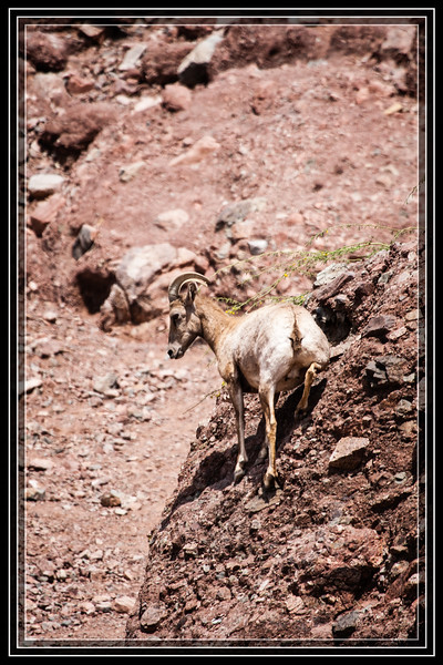 Desert Bighorn Sheep    Link to Photo Without Frame