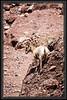 "Desert Bighorn Sheep  </font> <a href=""http://www.rickwillis-photos.com/Portfolio/Best/Hidden-Photos-Without-Frames/26709550_DZD78d#!i=2491987287&k=Z2JQGB8""> <font color=""Red"">Link to Photo Without Frame</a> </font></a></font>"