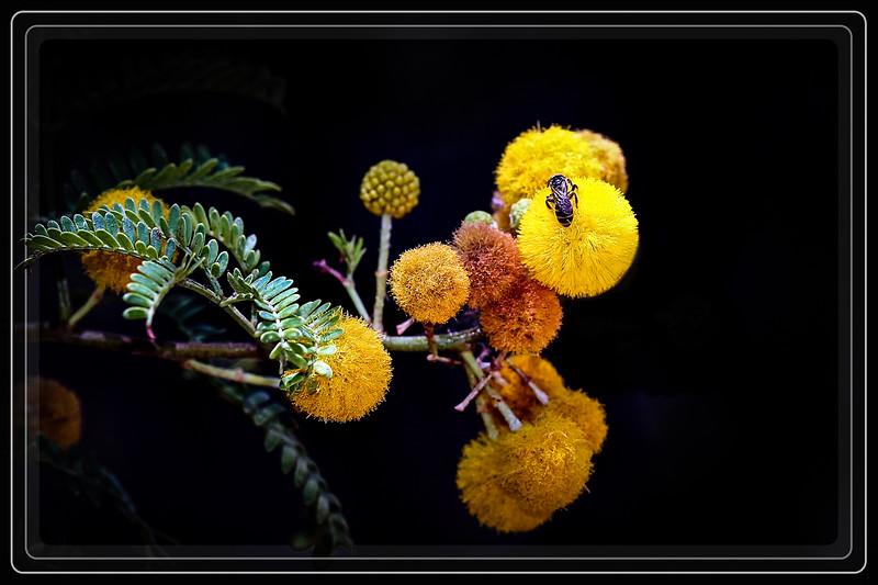 Acacia, Sweet