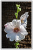 Hollyhock in White