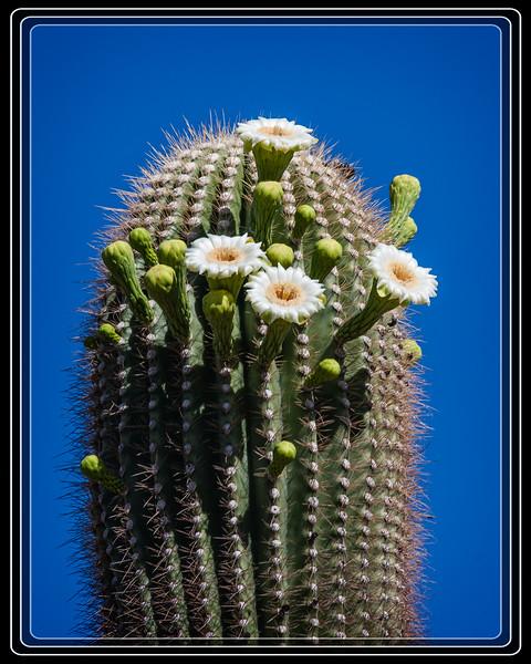 Saguaro Cactus Blooms