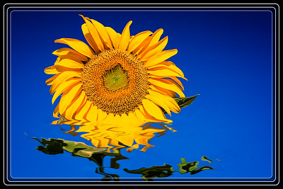 ART - Sunflower Melt Down
