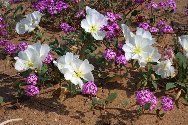 Desert Flowers Triggered by Rain<br /> <br /> Birdcage Evening Primrose [White]<br /> Desert Sand Verbena [Purple]