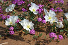 Desert Flowers Triggered by Rain<br /> <br /> Birdcage Evening Primrose [White]<br /> Desert Sand Verbena [Purple]