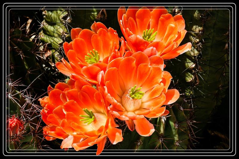 Cactus, Devil Cholla
