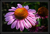 "Purple Coneflower  </font> <a href=""http://www.rickwillis-photos.com/Portfolio/Best/Hidden-Photos-Without-Frames/26709550_DZD78d#!i=166250230&k=k8M4sc3""> <font color=""Red""> Link to Photo Without Frame </a> </font>"