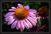 "Purple Coneflower  </font> <a href=""http://www.rickwillis-photos.com/Portfolio/Best/Hidden-Photos-Without-Frames/26709550_DZD78d#!i=166250230&k=k8M4sc3""> <font color=""Red""> Link to Photo Without Frame </a> </font>"