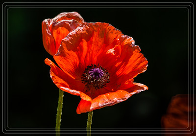 Orange Scarlet Poppy