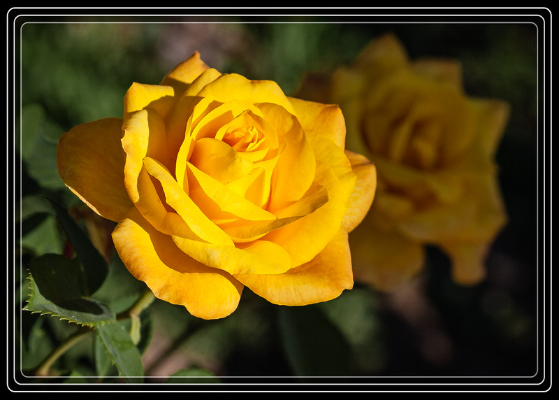 """<font color=""""Yellow"""">Yellow Rose of Arizona</a></font> (Roots do not extend to Texas)   </font><font color=""""PaleGreen"""">     Thank You for Making this Daily Photo the <font color=""""Yellow"""">#1 Pick<font color=""""PaleGreen""""> on 06-04-2013 </a></font>  </font> <a href=""""http://www.rickwillis-photos.com/Portfolio/Best/Hidden-Photos-Without-Frames/26709550_DZD78d#!i=2546967914&k=Rk4L8dk""""> <font color=""""Red"""">Link to Photo Without Frame</a> </font></a></font>"""
