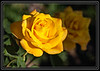Yellow Rose of Arizona  (Roots do not extend to Texas)        Thank You for Making this Daily Photo the #1 Pick on 06-04-2013     Link to Photo Without Frame