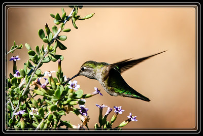 Humming Bird Shot at Rio Salado in Phoenix, AZ     Link to Photo Without Frame