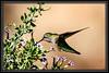 "Humming Bird Shot at Rio Salado in Phoenix, AZ  </font> <a href=""http://www.rickwillis-photos.com/Portfolio/Best/Hidden-Photos-Without-Frames/26709550_DZD78d#!i=492620608&k=kkN3srx""> <font color=""Red""> Link to Photo Without Frame </a> </font>"