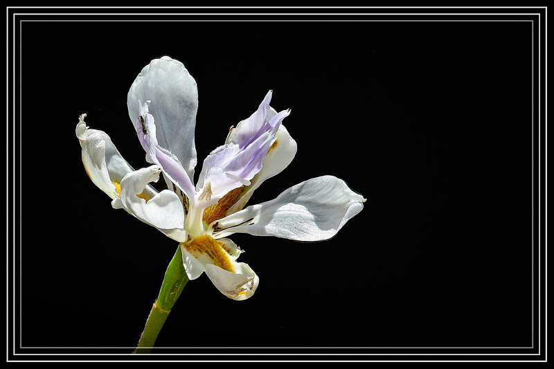 Iris, English