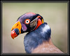 South American King Vulture    More Information           Thank You for Making this Daily Photo the #1 Pick 03/26/2013   One Cool Bird. Elegant Neck Wrap.   That Swept Back Look Finishing in a Stylish PonyTail.    A Nose Job and Wild Eye Liner.       Link to Photo Without Frame
