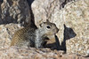 Ground Squirrel<br /> <br /> There are three that are in this area that I see quite often.<br /> They peek and if I'm there then back down in the rocks, again...