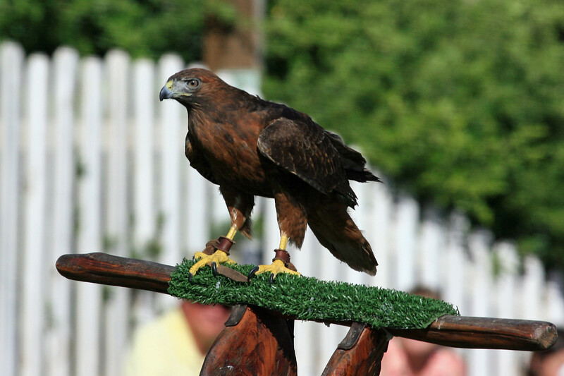 AZ-Apache Junction-Renaissance Festival Last Day of the Year<br /> <br /> One of the Attractions was a Trained Bird of Prey.<br /> A little tidbit of info.  The talons can exert over 200-lbs psi of force. <br /> He stated that it was a Hawk...