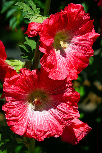Hollyhock<br /> <br /> The Blooms hang around for a while but quickly fade in the AZ heat...
