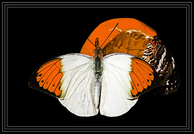 Great Orange Tip