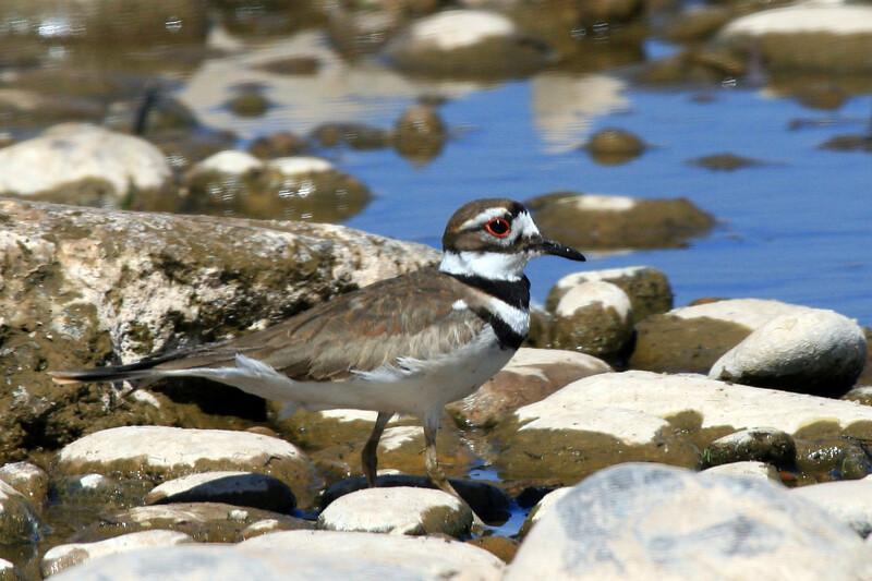 Kildeer<br /> <br /> Shot at Tres Rios Wetlands Phoenix, AZ