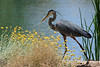 Heron, Great Blue<br /> <br /> Shot at Phoenix-AZ Rio Salado
