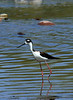 Stilt, Black-Necked<br /> <br /> Shot at Tres Rios Wetlands Phoenix, AZ...