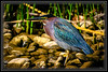 Little Green Heron Phoenix, AZ Rio Salado     Link to Photo Without Frame