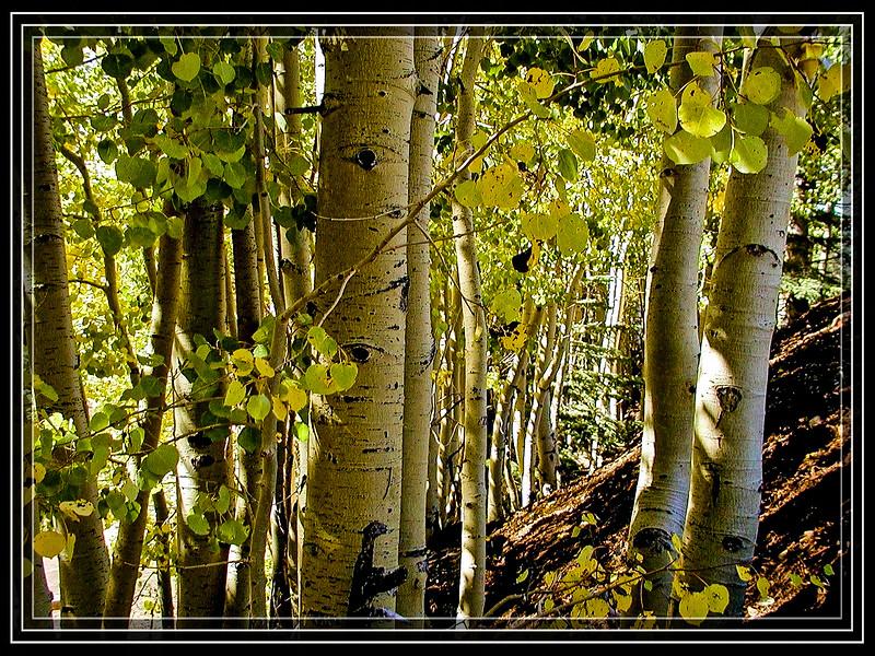 "Aspens at Flagstaff, AZ Snowbowl  </font> <a href=""http://www.rickwillis-photos.com/Portfolio/Best/Hidden-Photos-Without-Frames/26709550_DZD78d#!i=2305174854&k=6ZRJLWZ""> <font color=""Red""> Link to Photo Without Frame </a> </font>"