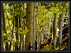 Aspens at Flagstaff, AZ Snowbowl     Link to Photo Without Frame