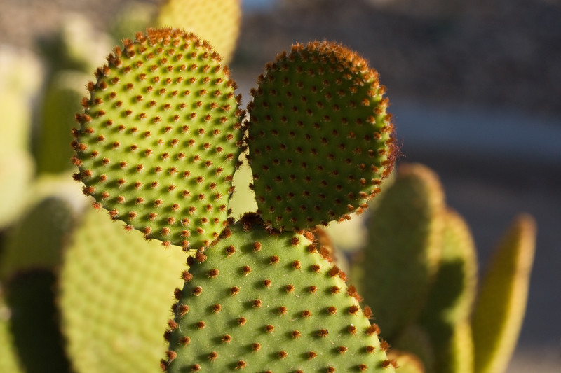 Prickly Pear, Bunny-Ear <br /> <br /> I wonder how it got its name?