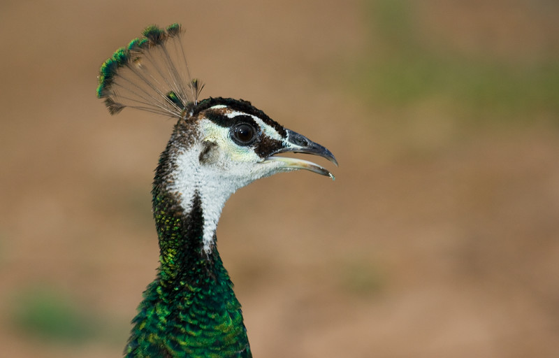 Peacock, Female<br /> <br /> Just Posing for the Camera hoping to become Famous...