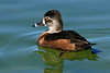 "Ring-Necked Duck-AZ-Phoenix-Rio Salado  Adult-Female-Breeding <font color=""Red""> Follow link to other </font> <a href=""http://www.rickwillis-photos.com/Nature""> Birds </a>."