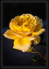 Rose, Yellow