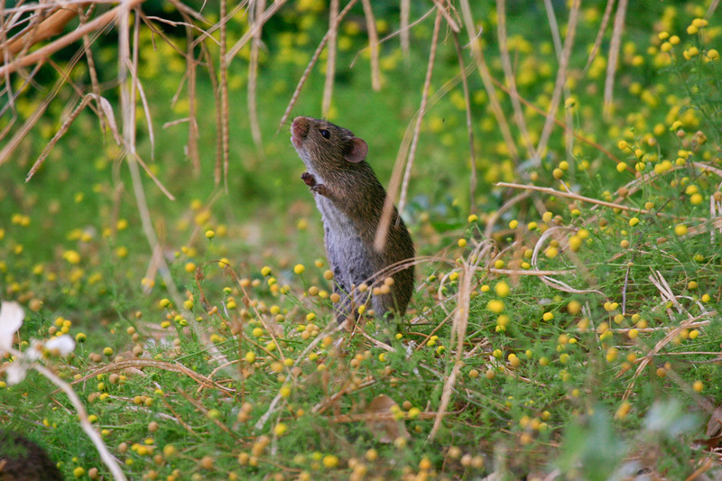 Field Mouse<br /> <br /> Just a little critter.