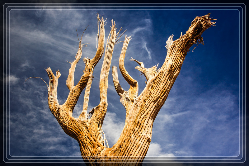 Desert Botanical Garden - (DBG) - Saguaro Cactus Skeleton