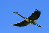 Great Blue Heron <br /> <br /> Shot inTres Rios Wetlands Phoenix-AZ