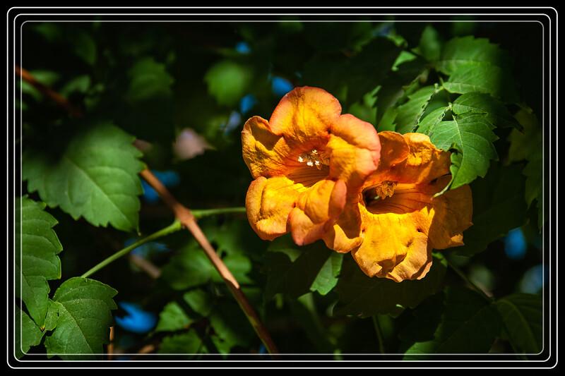 Arizona Yellow Bells