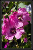 """Juxtaposition of Introvert and Extrovert Hollyhocks  </font> <a href=""""http://www.rickwillis-photos.com/Portfolio/Best/Hidden-Photos-Without-Frames/26709550_DZD78d#!i=2531527962&k=Lk8qvP3""""> <font color=""""Red"""">Link to Photo Without Frame</a> </font></a></font>"""