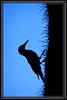 Gila Woodpecker Silhouette